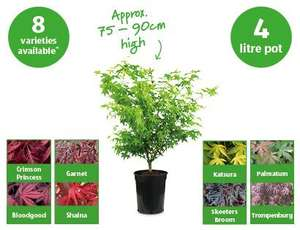 3 year old Japanese Acer plants £10.99 @ Aldi from Thursday 23rd May