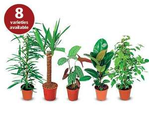 house plants £3.99 @ ALDI