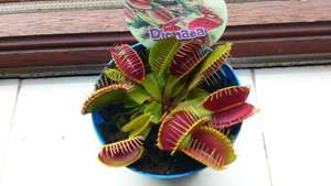 Venus Fly Trap Plant ( Dionaea )  only £3.99 in Homebase