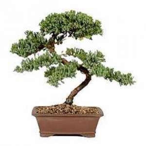 Bonsai Tree only £5.00 @ Morrisons