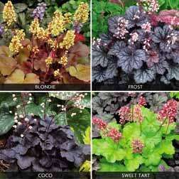 Heuchera 'Little Cuties Collection' £4.96 @ Van Meuwen (Plants Direct)