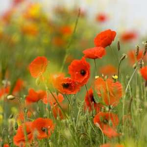 5000 red field poppy seeds for £3.49 delivered at Crocus