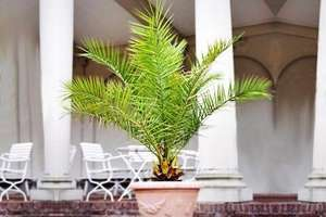 two giant potted palm trees - £35.94 delivered via groupon gardeningexpress.co.uk