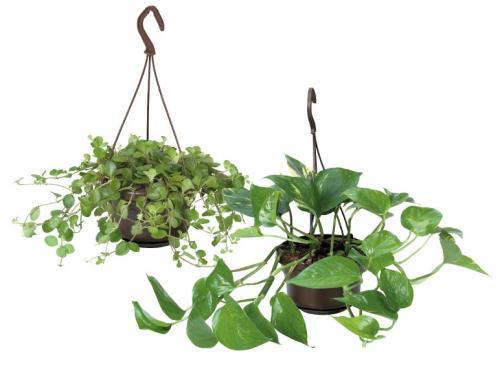 Indoor Hanging Basket Plants, 30cm, £2.99 @ Lidl 25/7