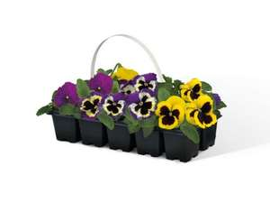 10 Pack Autumn / Winter bedding Pansies £1.99 @ Lidl from 29/8