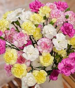 12 delicate spray Carnations + Free Chocolates £11.59 delivered @ Bunches