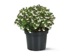 Lingonberry in 15cm pot £3.99 @ Lidl from Thur 24/10