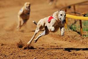 Kinsley Dogs 2 for £9 inc free bet, burger and chips and a drink ( greyhound races) groupon