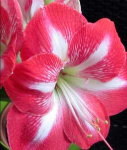 Amaryllis bulb gift sets reduced from £5 to £1.25 in store at Tesco