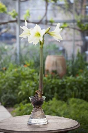 Amaryllis Forcer - £11.87 @ Sarah Raven's Kitchen & Garden