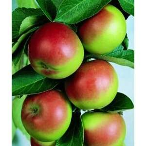 3x Homebase Fruit Trees - PEACH - APRICOT - APPLES - PLUMS ETC. £33.95 delivered