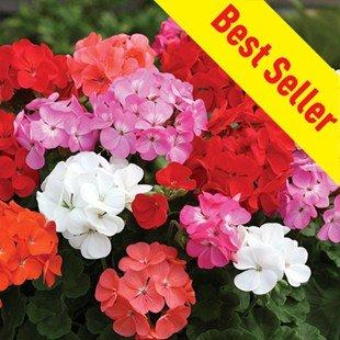 Geranium Parade 30 Medium Plugs +15 Free - £9.99 Free P&P - 12% Quidco - @ Gardening Direct