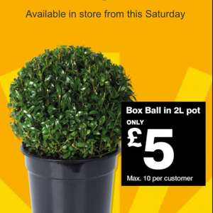 B&Q 2ltr Pot Buxus Balls £5 each. Bargain