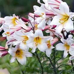 50 Giant Ranunculus asiaticus Mixed + 5 Free Lilium Regale - £8.97 delivered @ J Parkers