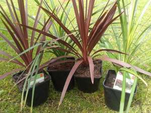 ALDI Cordyline (Australis & Red Star) reduced to £1.89