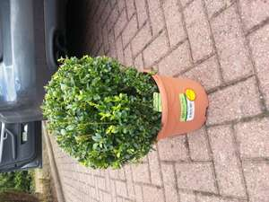 Morrisons Buxus ball Reduced to £5