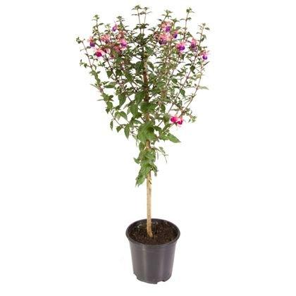Fuchsia plant - half price - £10 @ Homebase