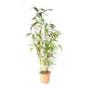 Half Price Bamboo! Lovely Japonica £15 at Homebase