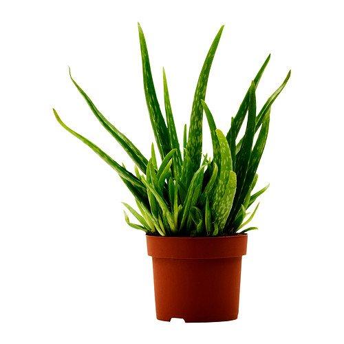 Aloe vera plants £2.75 @ Ikea
