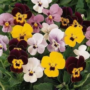 Packs of 20 winter pansies or violas for only £3 in Morrisons