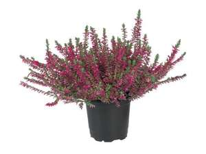 Autumn Heather from 28th 50p at LIDL