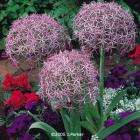 10 Allium Christophii pack of 10 bulbs plus free 25 Queen of the Night Tulips worth £7.95 @ j parker - £1.45 + £3.95 p+p