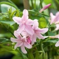 Six climbing garden plants £5.50 delivered from Park Promotions