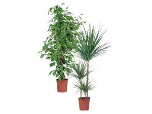 Large Green Houseplants £10 at LIDL