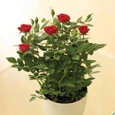 Miniature indoor potted rose £1.00 at Morrisons Instore (Plant of the week)
