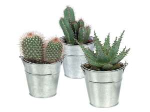 Cacti or Succulents in Zinc Bucket £1.50 @ LIDL