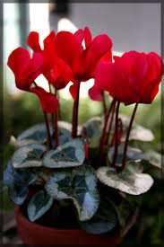 Large Flowered Cyclamen £1.20 at Morrisons (Plant of the week)