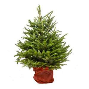 Real Christmas Trees (Nordman Firs) - ASDA £20 Instore Only