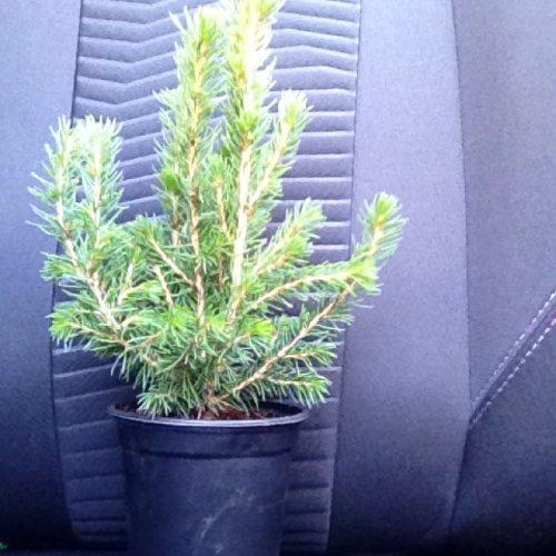 Real Mini Christmas Trees £1 in Poundland!