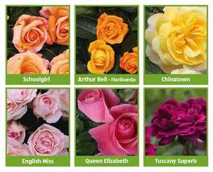English Grown Roses 30  varieties 2 year old plants at ALDI
