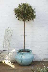Large Olive Tree £20 or 2 for £30 at Morrisons Instore