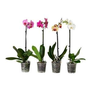 Orchid at IKEA £3.50
