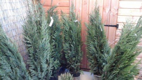 Conifers 100cm 2 for £8 B&M