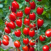 DOBIES   flowers plants vegetable tomato plants etc FREE POSTAGE