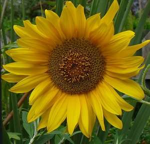 FREE GIANT SUNFLOWER SEED GIVEAWAY £0.00 @  BBC2 GARDENERS WORLD