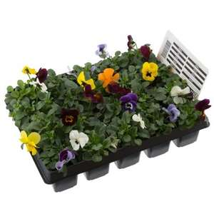 Bedding plants 20 pack 10p at B&M