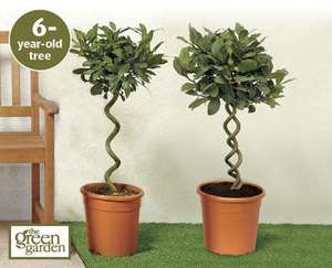 6 year old Spiral or Double Spiral Bay Trees £19.99 from Aldi