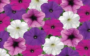 Free bedding plants from Homebase with The Telegraph this weekend.