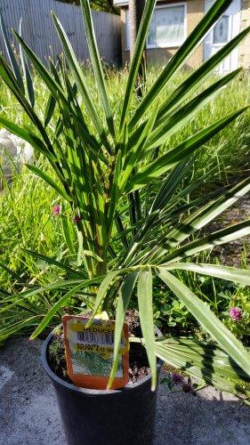 Palm Plants 90p @  Tesco Llansamlet