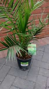 Hardy Palms ( Phoenix Canariensis variety) £5.00 @ Morrisons