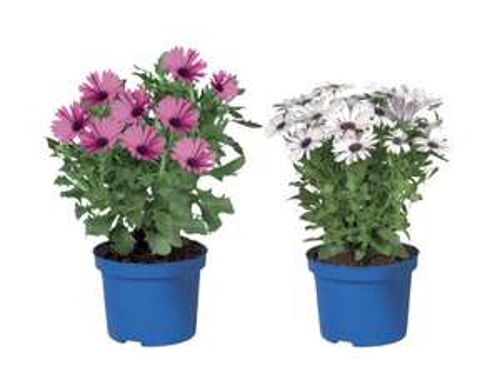 Osteospermum plant £1.00 at LIDL