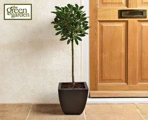 Bay Tree 6yr old £14.99 at ALDI