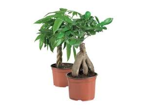 Bonsai or Money Plant £3.99 at LIDL From 11th June