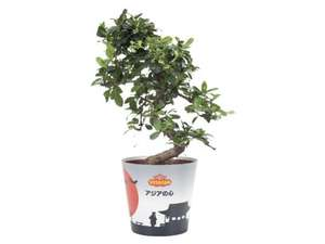 LIDL Bonsai - Carmona, Ficus Ginseng or Pachira From 23rd