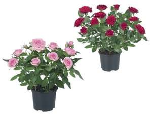Mini Roses £1 at LIDL