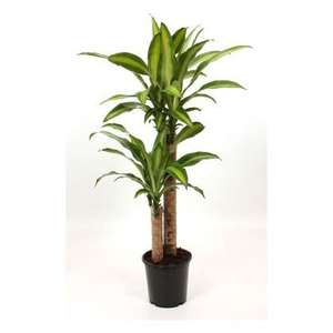 LIDL - Large House Plants £10